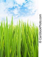 campo, arroz, verde