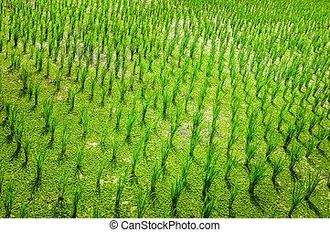 campo, arroz, verde, detalhe, colheita