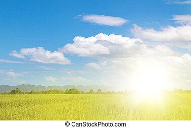 campo, arroz, verde, ocaso