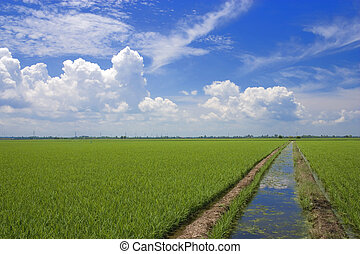 campo, arrozal
