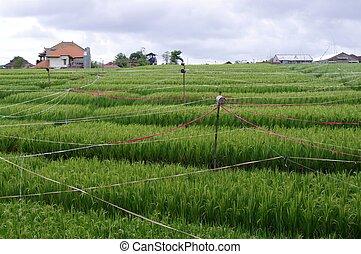 campo azienda agricola, riso