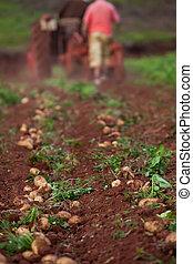 campo, batata