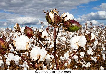 campo, bolls, algodão