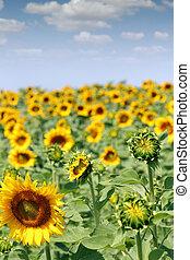 campo, brillante, Agricultura, industria, girasol