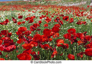 campo, brillante, florecer, rojo, amapolas