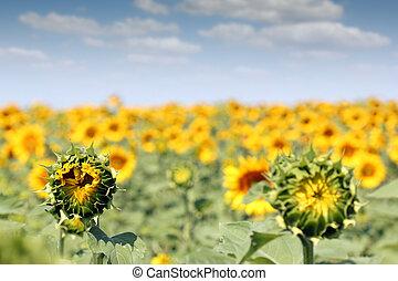 campo, brillante, verano, girasol, estación