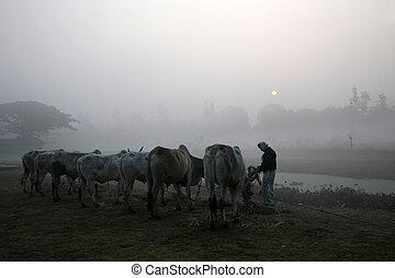 campo, brumoso, mañana,  kumrokhali, bengala