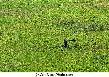 campo, camminare, frumento, attraverso, contadino