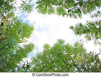 campo, cannabis