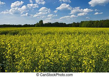 campo, canola, florecer