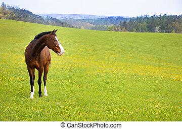 campo, cavalo, doméstico