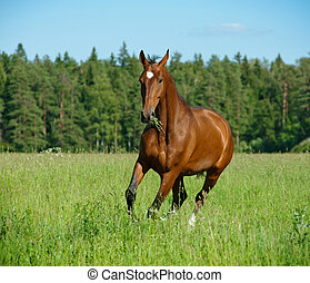campo, cavalo