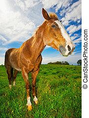 campo, cavalo, verde