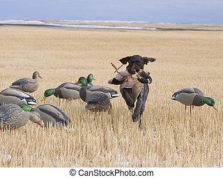 campo, caza, pato