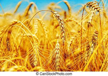 campo, cebada, dorado