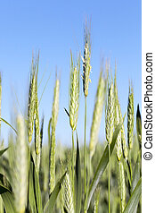 campo, cereales