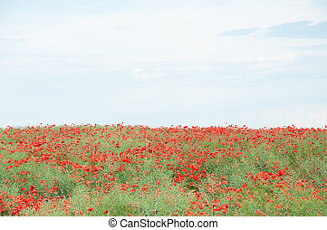 campo, cielo, rosso, nuvoloso, papaveri