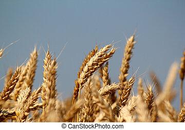 campo, cierre, trigo, Arriba, dorado