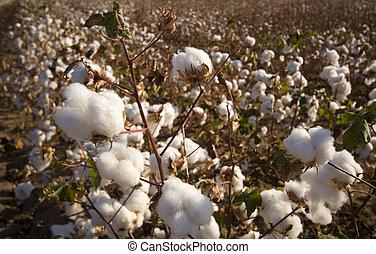campo, colheita, algodão