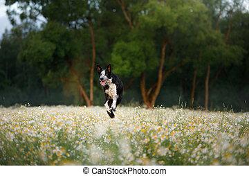 campo, collie, daisies., nature., perro, frontera