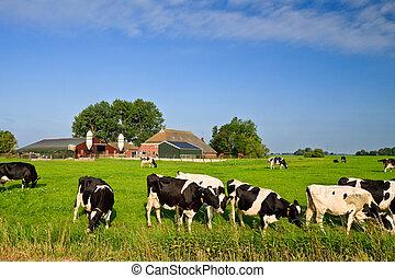 campo, com, fazenda, e, vacas, ligado, um, gramado