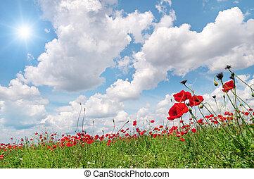 campo, com, papoulas, e, sol, ligado, céu azul