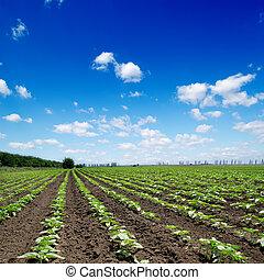 campo, com, verde, girassóis, sob, céu nublado