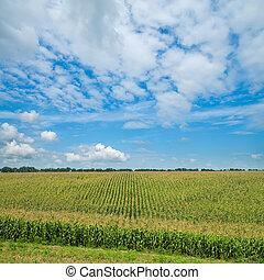 campo, com, verde, milho, sob, céu nublado