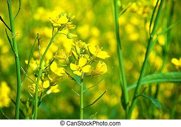 campo, con, flores amarillas, de, violación