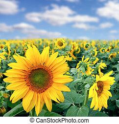 Vendemmia, girasoli, campo, paesaggio, mattina. Bello, cielo ...