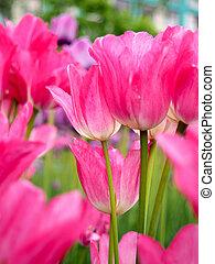 campo, con, tulipanes, en, salida del sol, en, primavera, tulipanes, para, mujeres, rojo, amarillo, blanco, tulipanes, en, jardín, en, un, día soleado