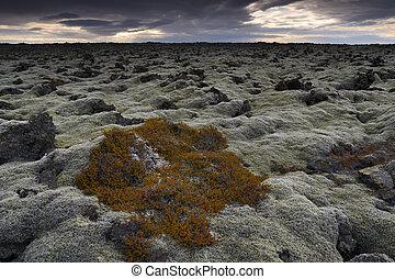 campo, coperto, iceland., muschio, lava