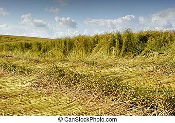 campo, cosecha, lino, durante