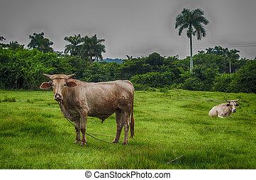 campo, cubano, paisaje
