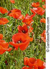 campo, cultivo, rhoeas), (papaver, amapolas