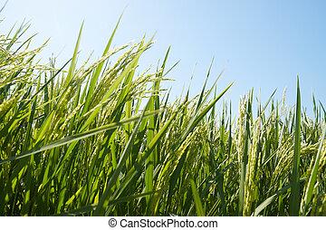 campo de arrozal