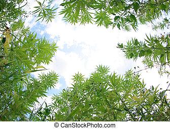 campo, de, cannabis