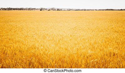 campo, de, dourado, trigo