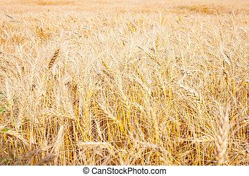 campo, de, dourado, trigo, pronto, para, colheita