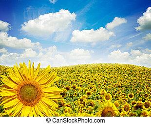 campo de flores, de, girasoles