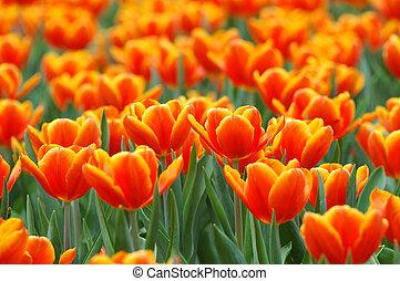 campo, de, naranja, tulipanes