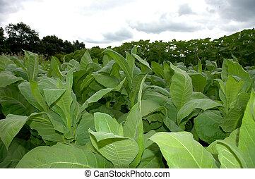 campo, de, tabaco, 1