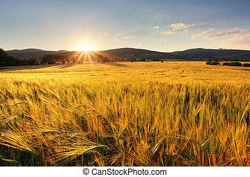 campo de trigo, -, agricultura, granja, industria