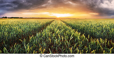 campo de trigo, -, agricultura