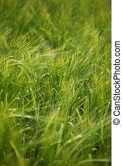 campo de trigo, agricultura, naturaleza, pradera, crecer, alimento