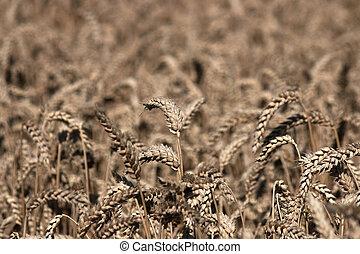 campo de trigo, agricultura, verano, estación