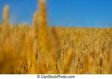 campo de trigo, con, cielo azul, en, plano de fondo