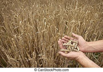 campo de trigo, manos
