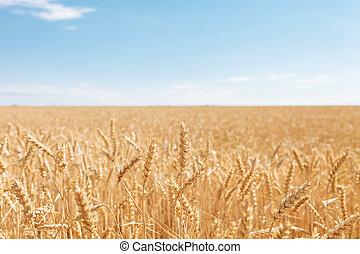 campo de trigo, paisaje, vista, día soleado, muchos, hectares, de, tierra, con, trigo