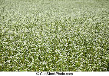 campo, de, trigo sarraceno